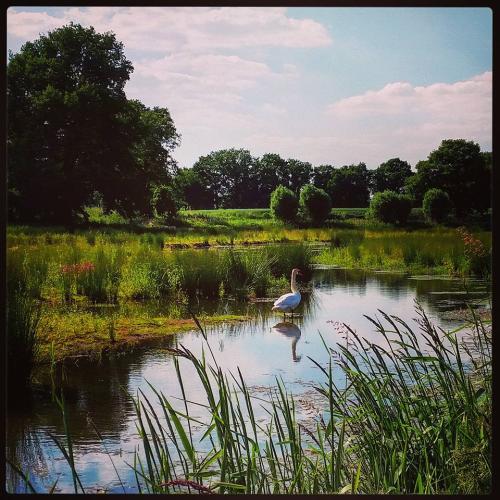 Zwaan Hondeborg 10-06-2015